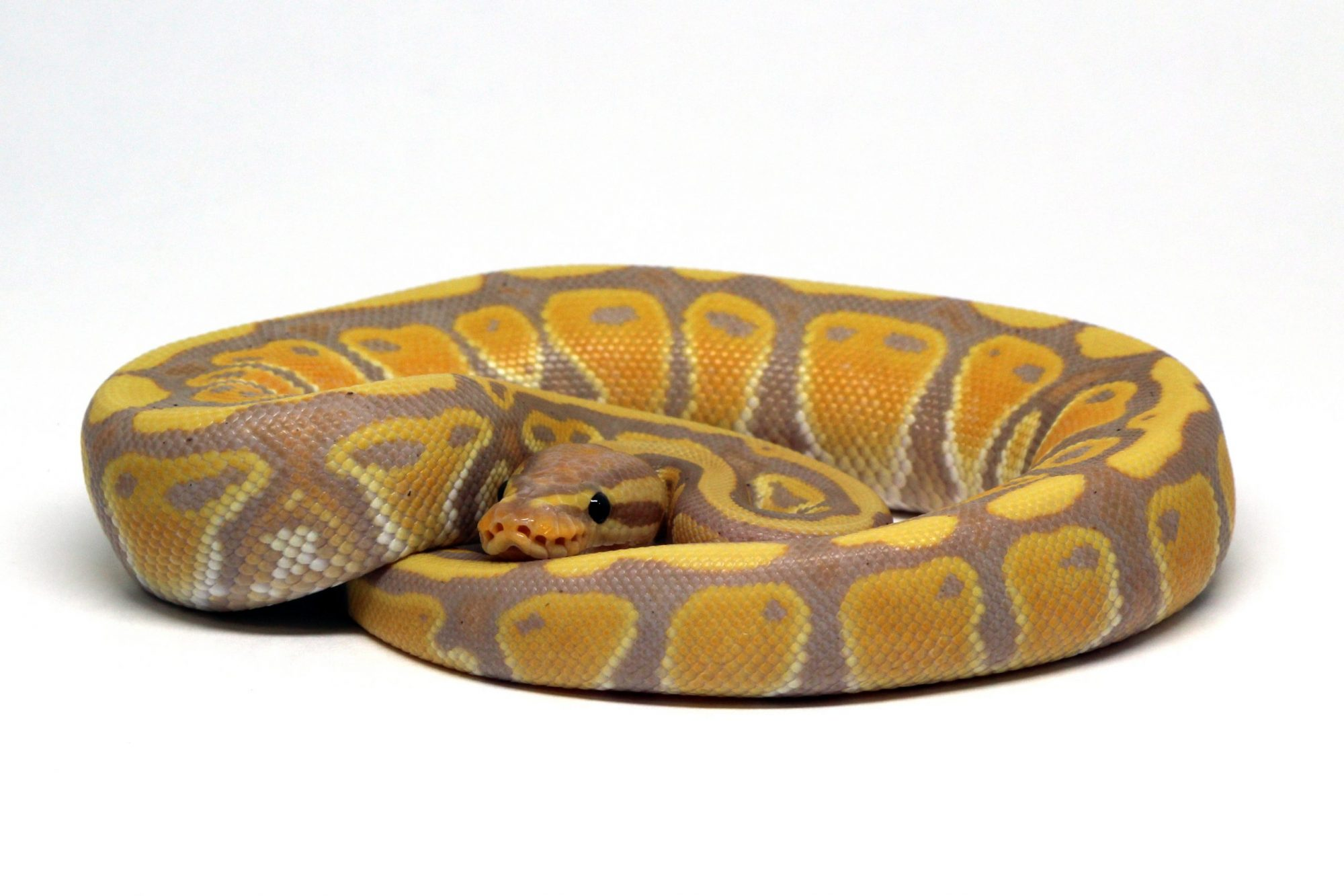 Banana Het Clown Ball Python Snake Boa Corn