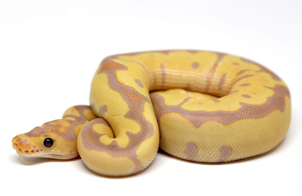 Banana Spider Clown Ball Python Care Sheet Available Animals
