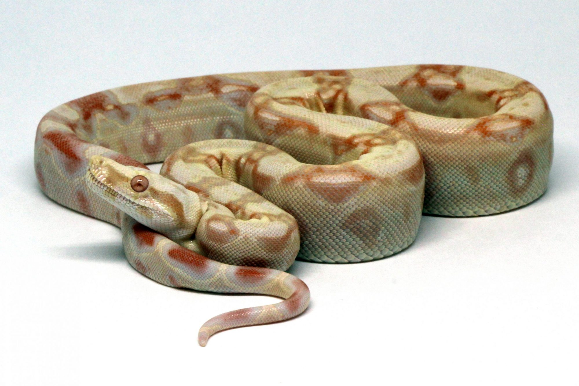 Kahl Albino Blood Red Dragon Morph Genetics Snake Boa Constrictor Reptile FOr Sale