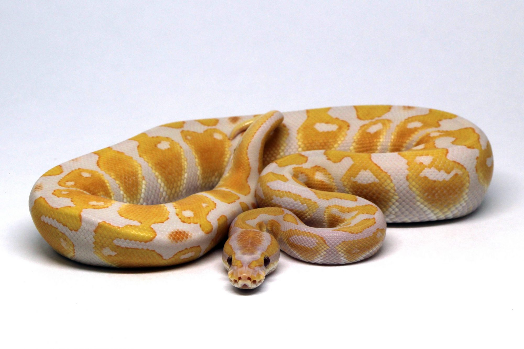 Lavender Albino Yellow Ball Python Bright Snake Morph Beautiful Animal