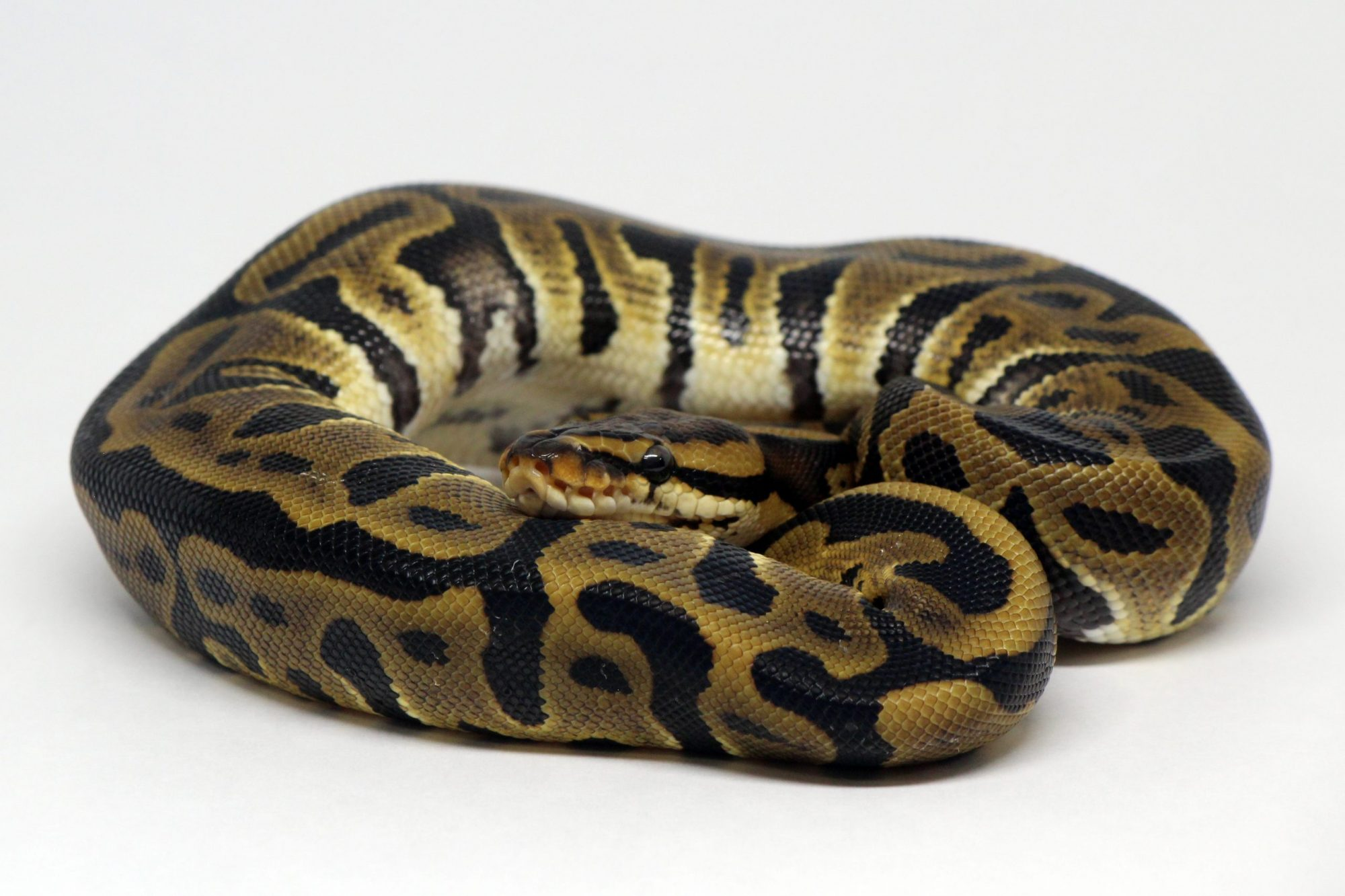 Leopard Ball Python Het Clown Morph Genetic Snake BHB NERD