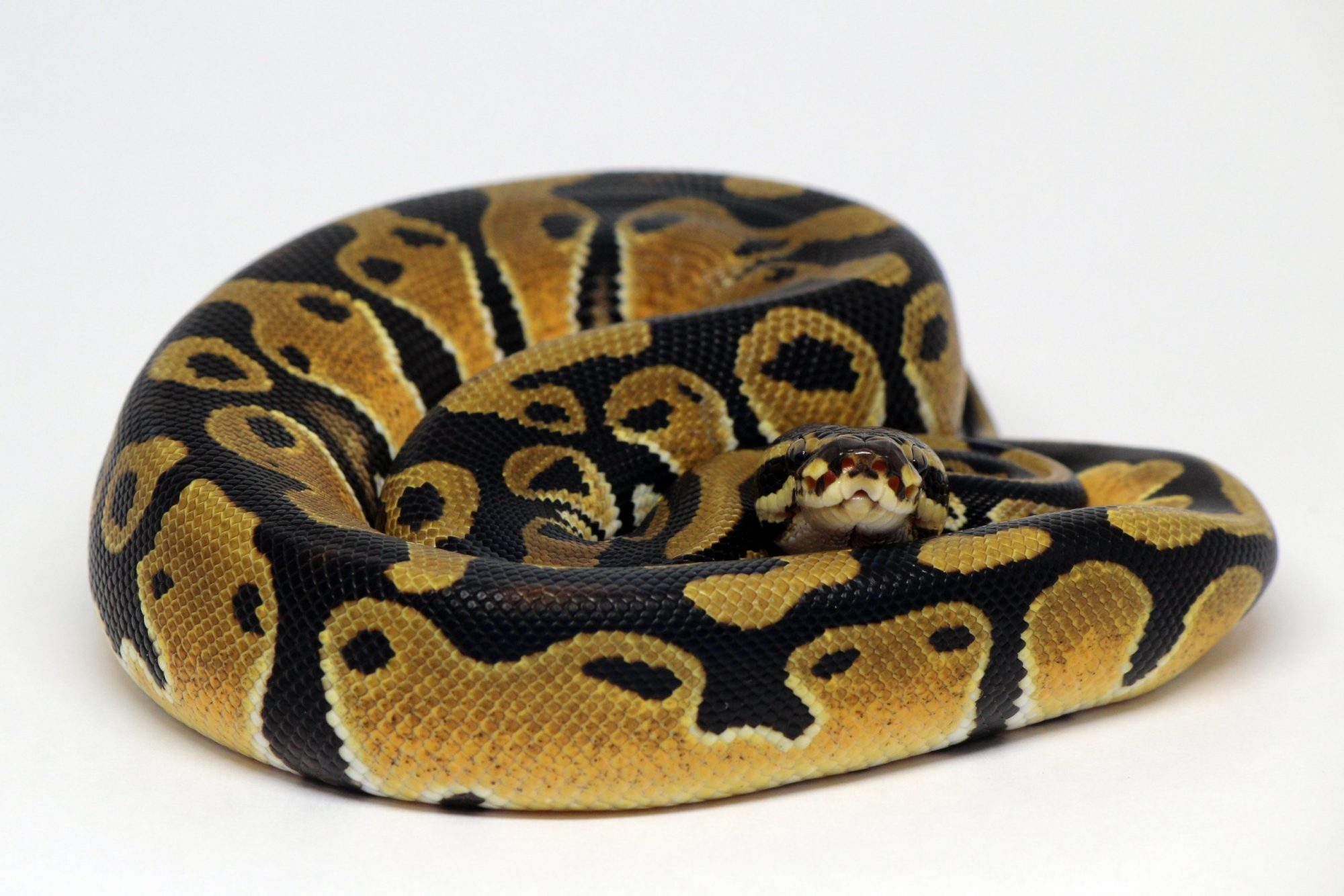 Orange Dream 100% het Piebald Ball Python For Sale Morph Genetics