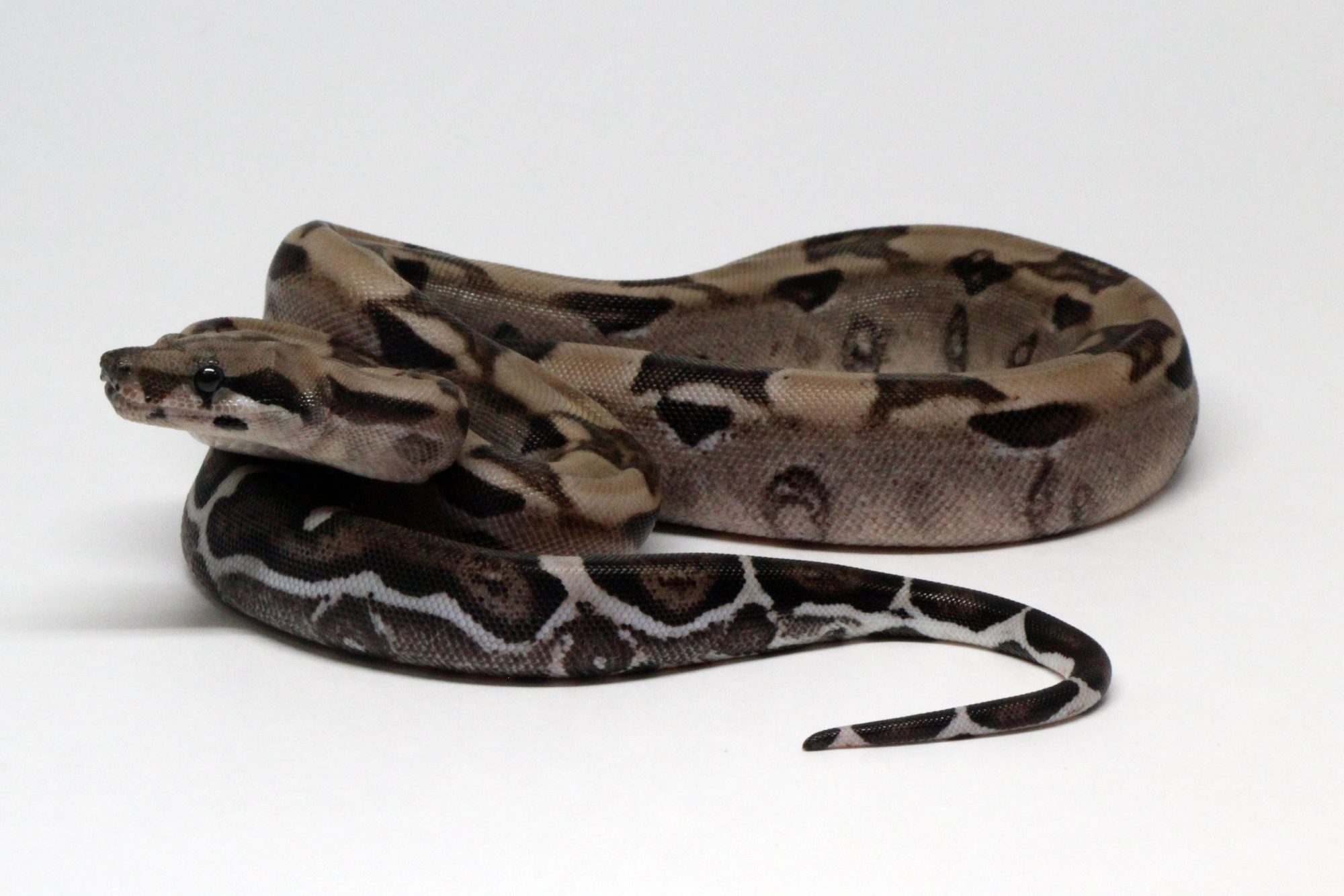 Blood Anery Pewter Boa Constrictor Morph Genetics Reptile For Sale Snake