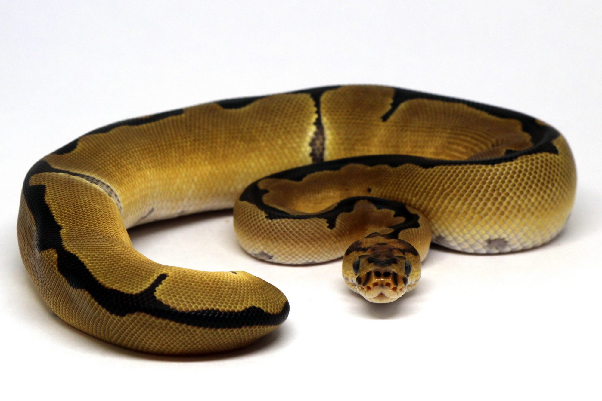 Super Banana Clown Female Ball Python